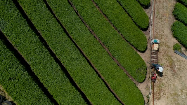 tea leaves are handpicked at the moriuchi tea farm on april 18, 2019 in shizuoka, japan. japan produces approximately 100,000 tons of green tea per... - プランテーション点の映像素材/bロール