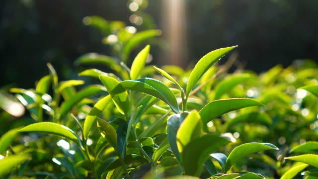 vidéos et rushes de feuilles de thé au champ de thé - thé boisson chaude