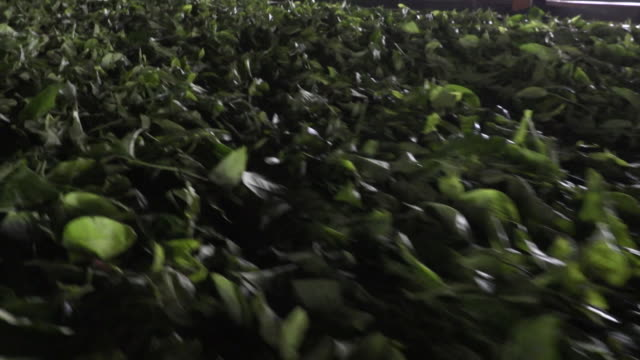 tea leaves being processed at loolecondera tea factory in kandy, sri lanka - sri lankan culture stock videos & royalty-free footage