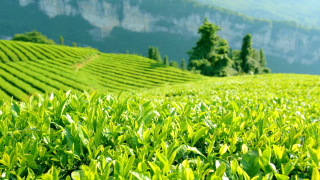 tea leaves - plantation stock videos & royalty-free footage