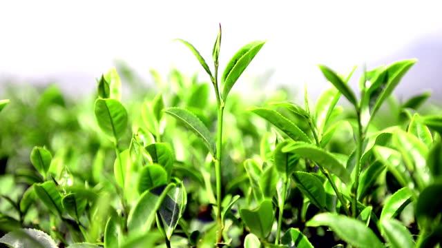 foglie di tè - tè raccolto video stock e b–roll