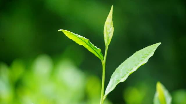 tea leaves - morning dew stock videos & royalty-free footage