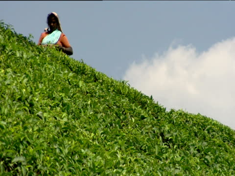 Tea picker at work on plantation Munnar India
