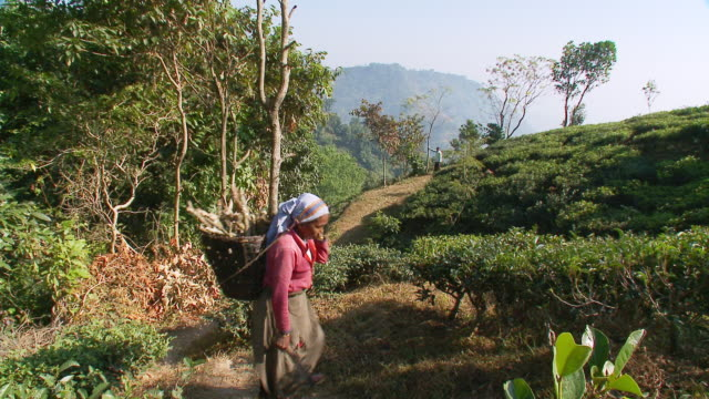 ms ts tea picker walking trough tea gardens / kurseong, west bengal, india - carrying stock-videos und b-roll-filmmaterial