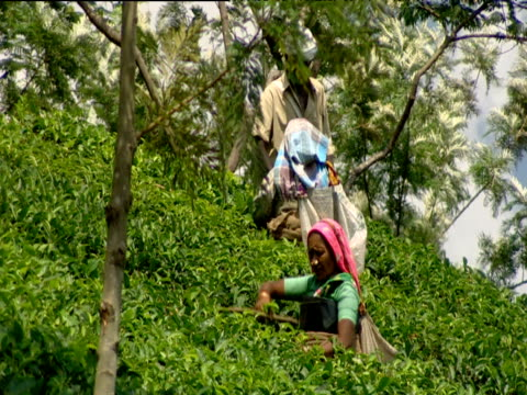 Tea pickers at work on plantation Munnar India
