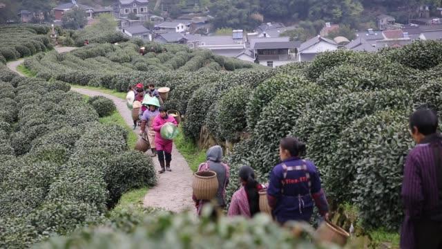 Tea pickers walking in the Tea Plantations at Longjing village,Hangzhou,Zhejiang,China