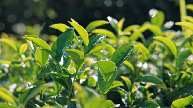 tea plant at chiang rai thailand - tea crop stock videos & royalty-free footage