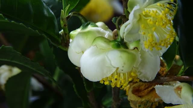 tea plant flowering - wildflower stock videos & royalty-free footage
