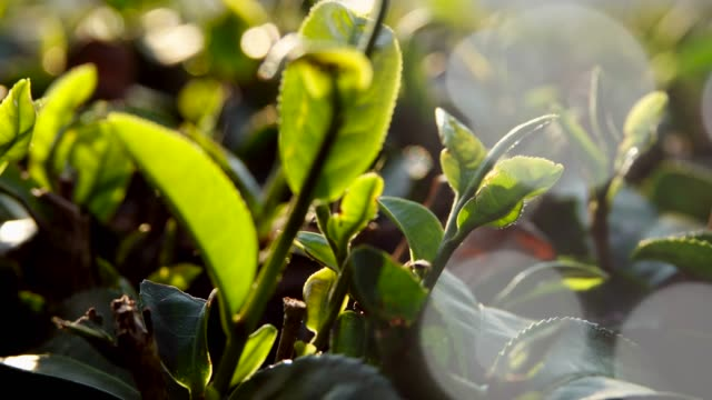 tea plant in morning at  thailand - black tea stock videos & royalty-free footage