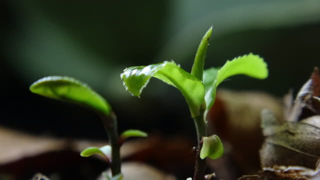 tea plant sprouting - planting stock videos & royalty-free footage