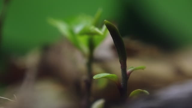 tea plant sprouting - schössling stock-videos und b-roll-filmmaterial