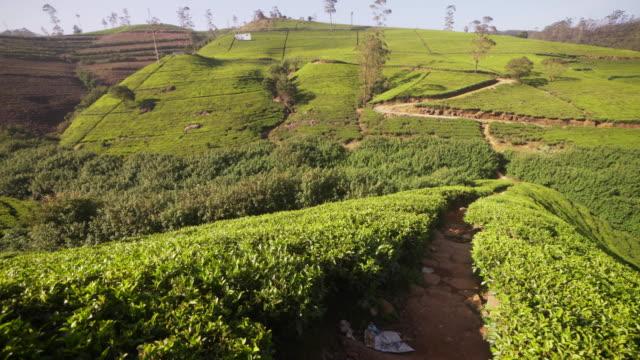 vidéos et rushes de tea plantation at nuwara elyia, sri lanka - thé noir
