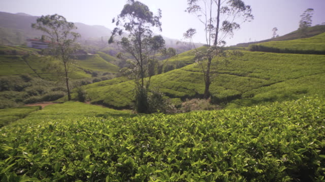 tea plantation at sri lanka with no people dolly shot - sri lankan culture stock videos & royalty-free footage