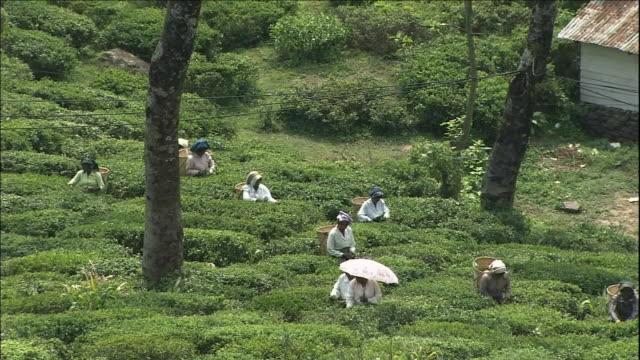 Tea plantation/ Darjeeling Himalayan Railway
