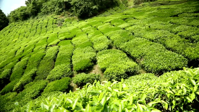 Tea plantation in Cameron Highlands Pahang