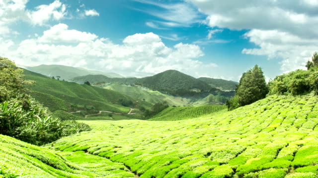 tea plantation in cameron highlands pahang,malaysia - quality control stock videos & royalty-free footage