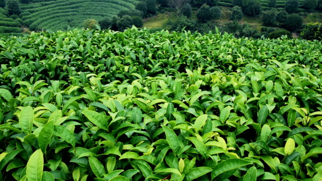 tea plantation in china - plantation stock videos & royalty-free footage