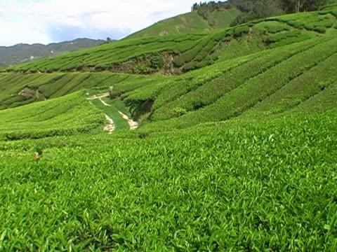 piantagione di tè in malesia - antiossidante video stock e b–roll