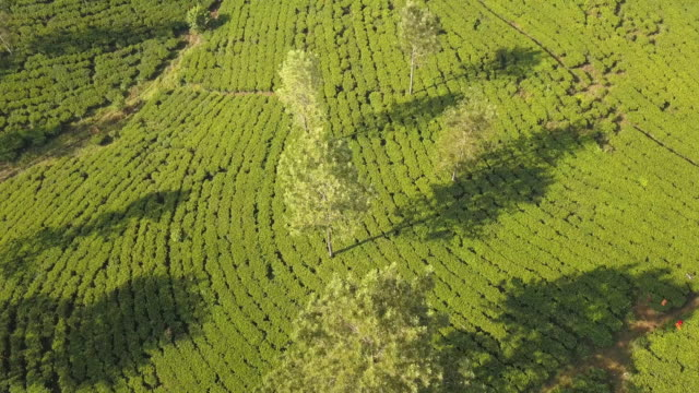 tea plantation in nuwara eliya at sunrise, sri lanka - sri lankan culture stock videos & royalty-free footage