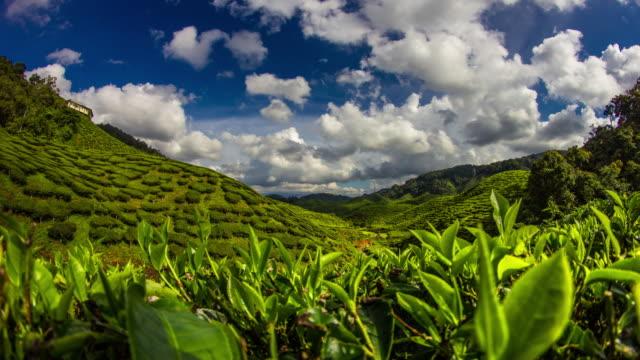 piantagione di tè time lapse 4 k - tè raccolto video stock e b–roll