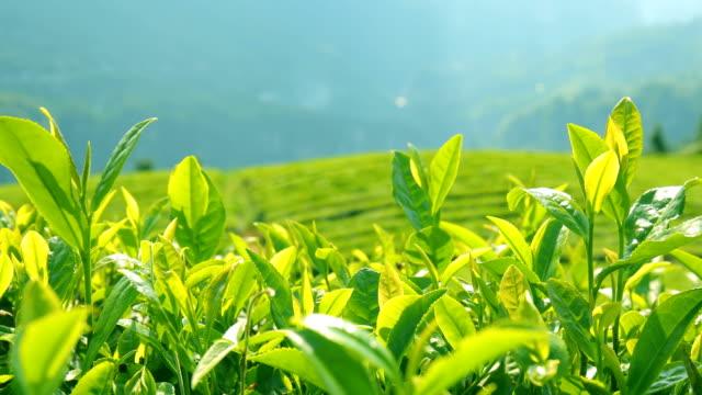 tea plantation - tea crop stock videos & royalty-free footage