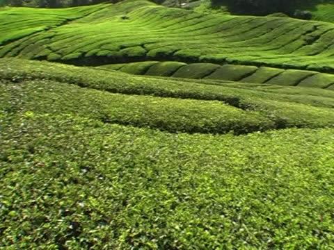 vídeos y material grabado en eventos de stock de plantación de té  - antioxidante