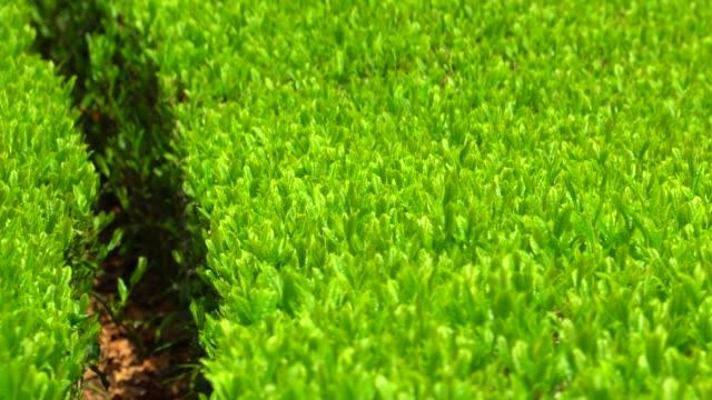 tea plantation - quality control stock videos & royalty-free footage