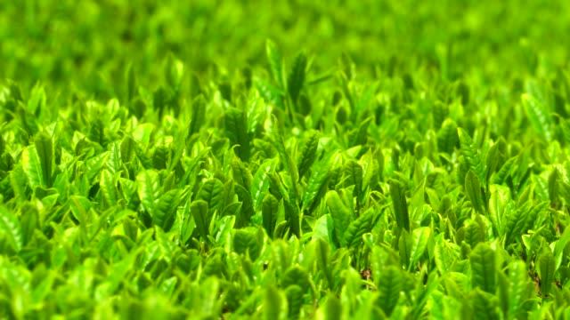 tea plantation - japan videos stock videos and b-roll footage