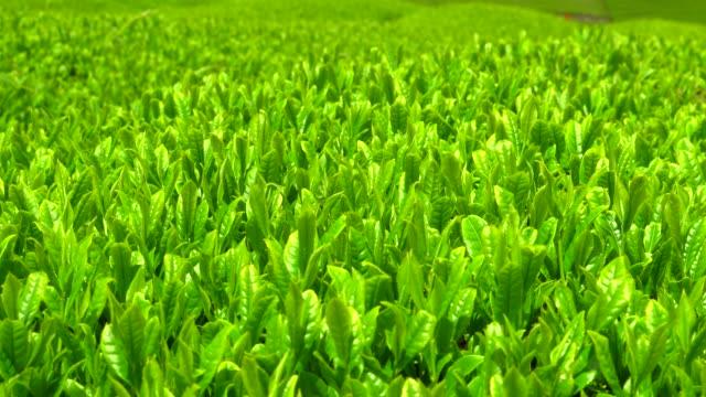 茶プランテーション  - プランテーション点の映像素材/bロール