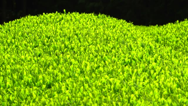 tea plantation - plusphoto stock videos & royalty-free footage