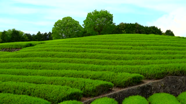 tea plantation - quality control stock videos & royalty-free footage