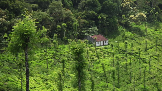 WS HA Tea plantation with small hut / Ooty, Tamil Nadu, India