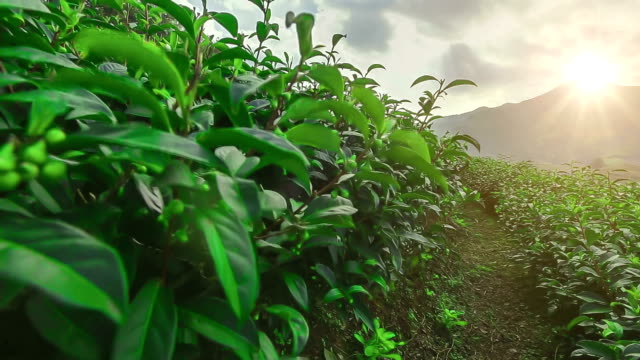 tea plantations at mae salong chiang rai thailand - antioxidant stock videos & royalty-free footage