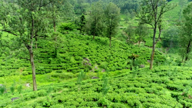 Tea Plantations from the central province of Sri Lanka