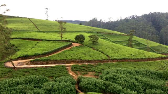 vidéos et rushes de les plantations de thé en nuwara eliya - culture sri lankaise