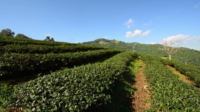 "tea plantations ""mae salong"" - bush stock videos & royalty-free footage"