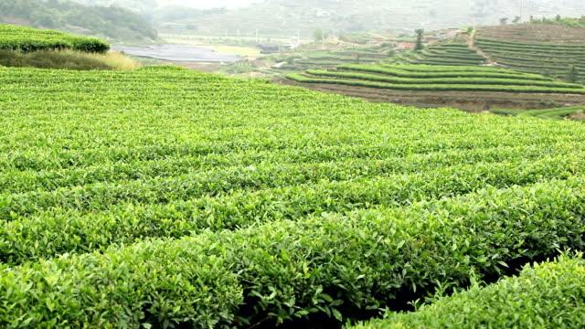 vidéos et rushes de les plantations de thé - thé noir