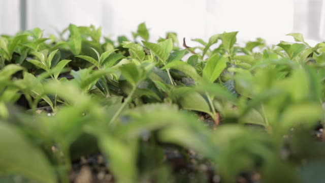 tea plants growing in a greenhouse - dried tea leaves stock videos & royalty-free footage
