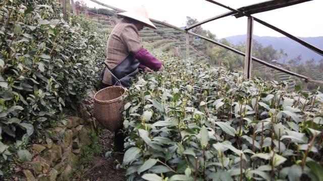 Tea pluckers picking tea leaves in Weng jia shan near Longjing Village,Hangzhou,Zhejiang,China