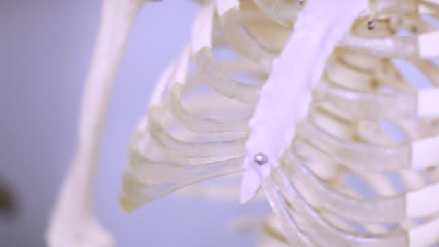 vidéos et rushes de enseignement de squelette humain - colonne vertébrale humaine