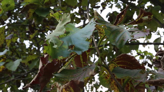 teak leaves on a field near bagdogra - west bengal stock videos and b-roll footage