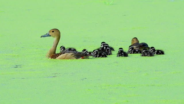 teal duck family - teal stock videos & royalty-free footage