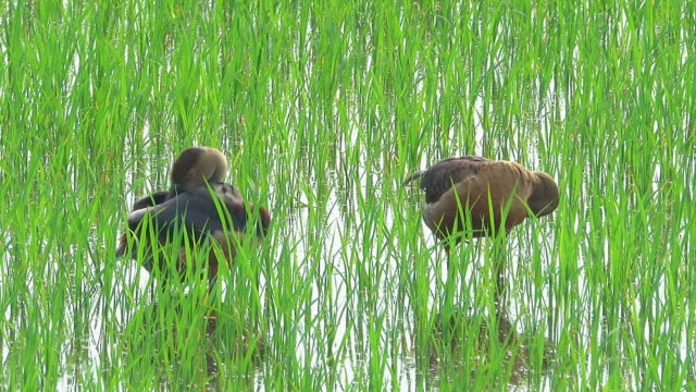 Teal duck in rice field