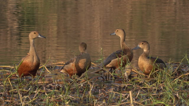 teal duck in the swamp - teal stock videos & royalty-free footage