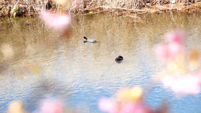 teal swimming in a water - teal stock videos & royalty-free footage