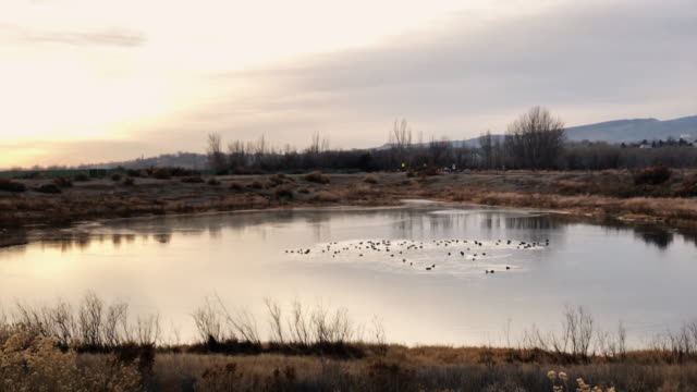 a team of ducks swim around a small pond in the high desert of western colorado in winter at sunset - anatra uccello acquatico video stock e b–roll