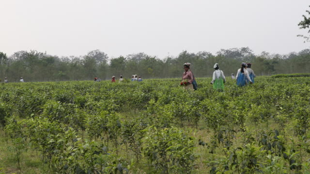 A team of female workers collect the tea manually and put it in bags hanging on their backs from their heads Kalabari Tea Garden village is located...