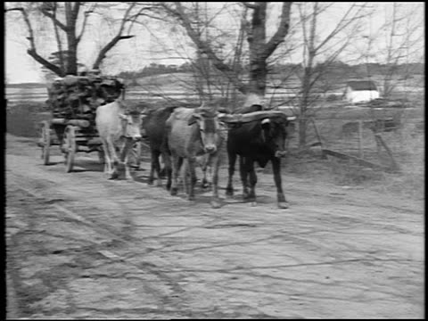 vídeos de stock, filmes e b-roll de b/w 1920 team of oxen pulling wagon loaded with wood on dirt country road / southern us / doc. - veículo puxado a cavalo