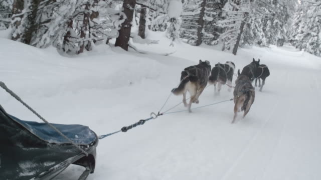 Team of sled dogs pulling a sleigh through woods