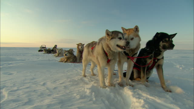 A team of sled dogs rests on Alaska's snowy tundra.